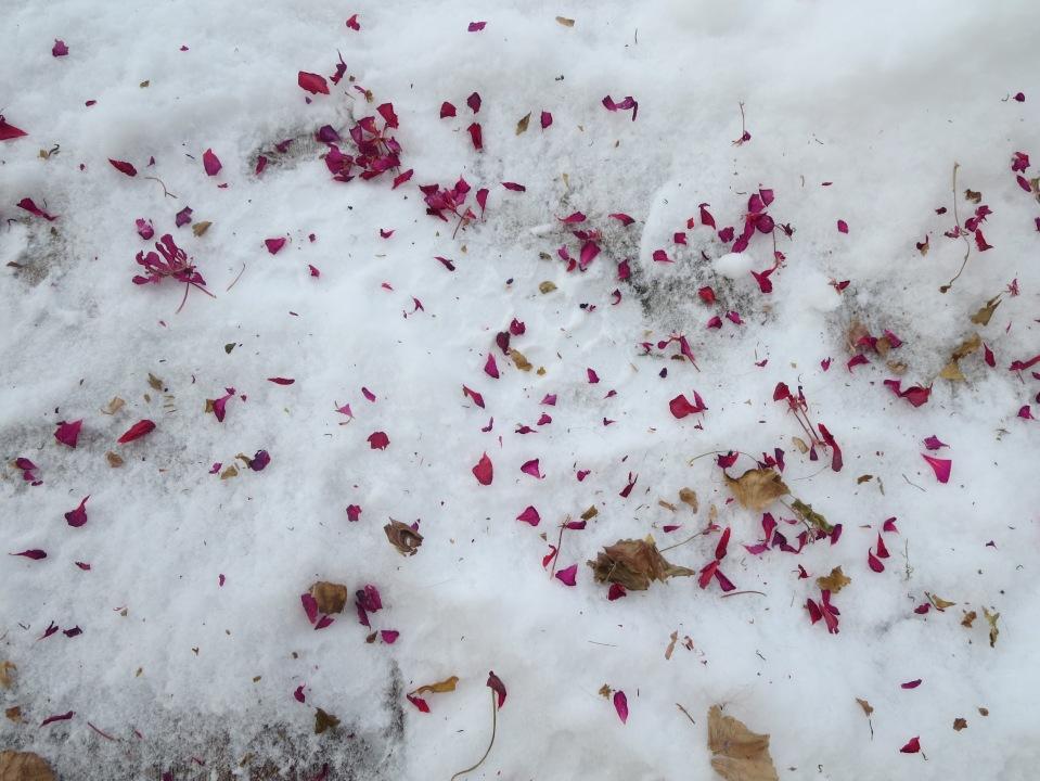 Geranium petals